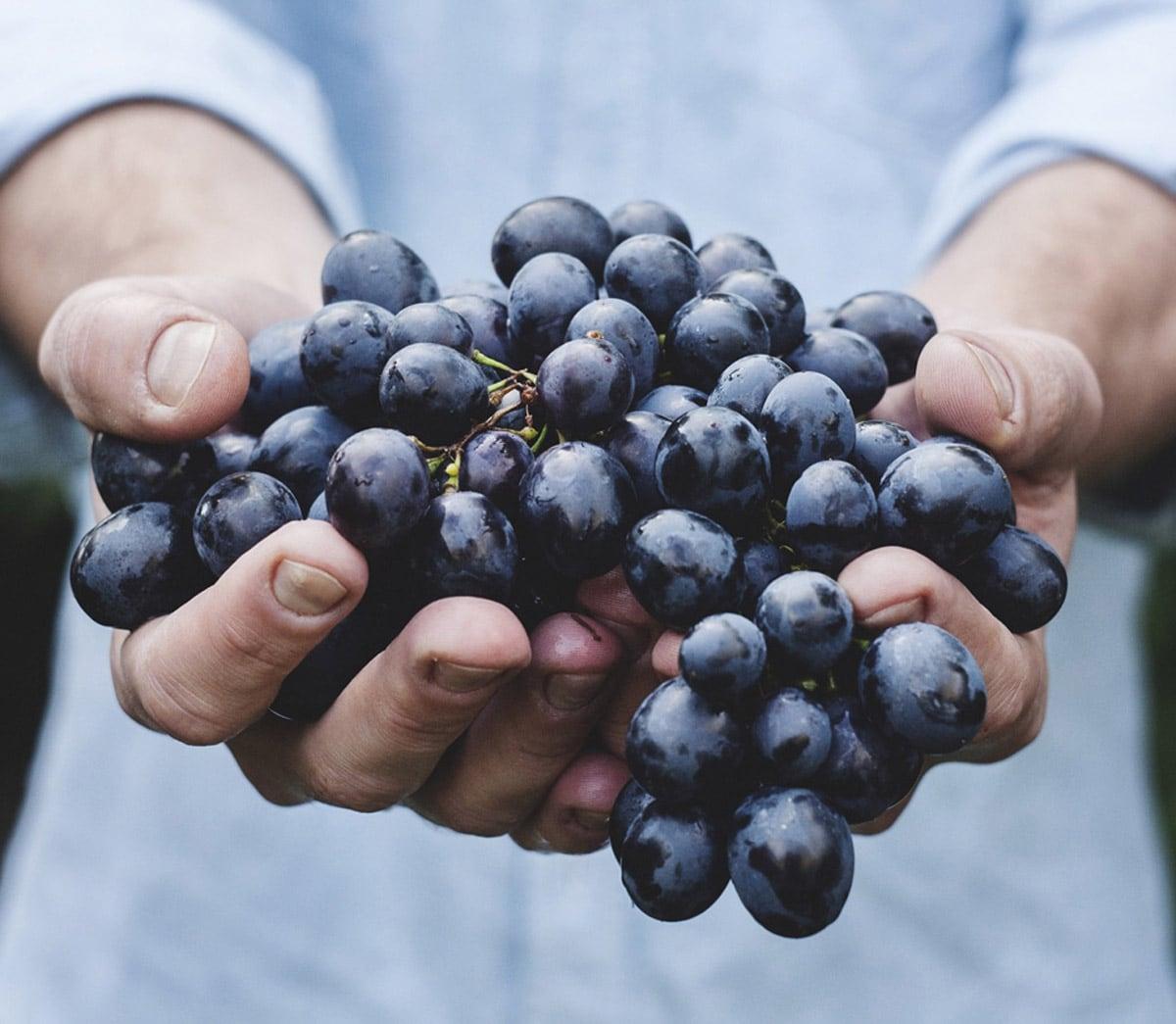 masseria-baroni-nuovi-vendemmia-uva-grappolo-salento-puglia